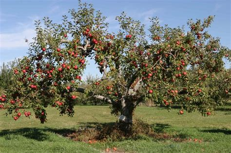 non fruit bearing cherry tree best fruit trees for missouri nixa lawn service