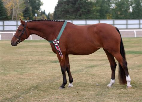 horse warmblood canadian charismatic breed conformation equine wild english canada bred sierra cwhba rose dressage jumping sport cu eventing southern