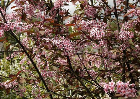 rosa blühender strauch prunus padus colorata eine rosa rote bl 252 hende traubenkirsche heimischer strauch oder baum