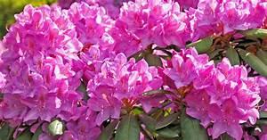 Wann Blüht Der Rhododendron : rhododendron d ngen mein sch ner garten ~ Eleganceandgraceweddings.com Haus und Dekorationen