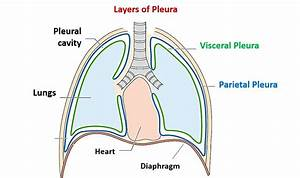 Of The Lungs Pleura