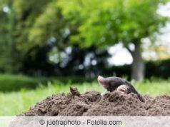 was fressen ratten am liebsten 12 wirksame rattenk 246 der f 252 r die falle das fressen ratten am liebsten gartendialog de