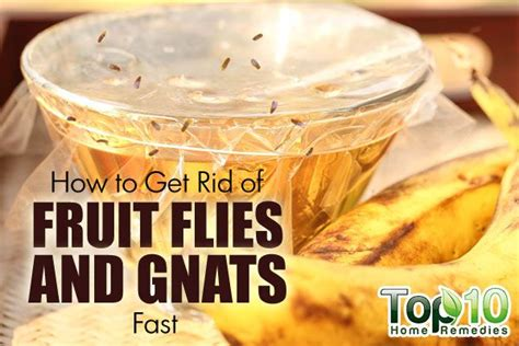 how to get rid of fruit flies and gnats fast top 10 home