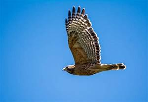 Cooper's Hawk pursued by a mockingbird