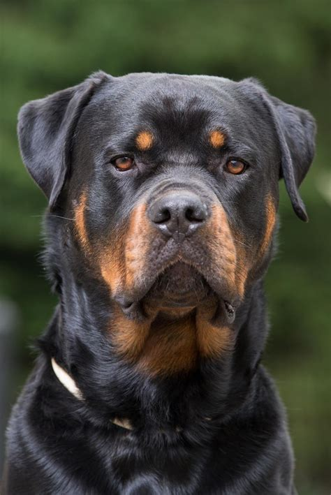 rottweilers images  pinterest