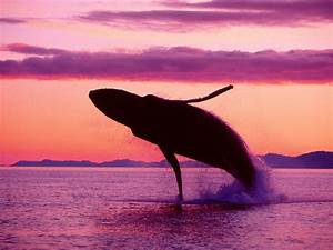 Orca Whale Jumping Wallpaper