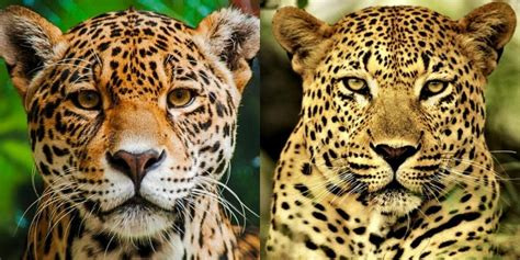 Jaguar V Leopard: 7 Key Differences Between These Big Cats