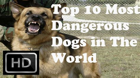 Top 10  Most Dangerous Dogs In The World Youtube