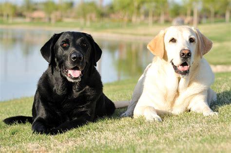 healthiest dog food  labrador retrievers