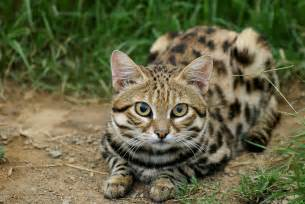 black footed cat black footed cat
