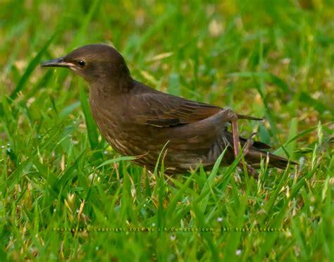 little dark brown bird needs identification