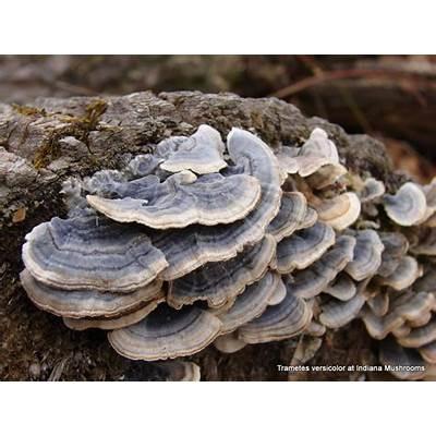 Trametes versicolor at Indiana Mushrooms