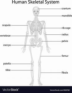 Skeletal System Royalty Free Vector Image
