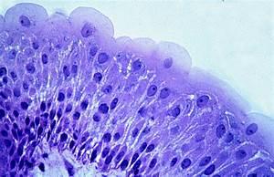 A&P1 Histology Slides: Epithelial Tissue