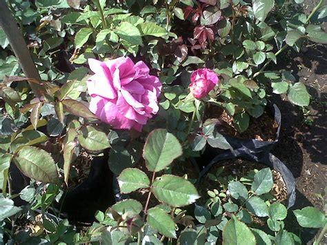 jual tanaman bunga mawar ungu tanamtanam tokopedia