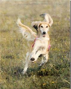 Chance Encounter Sends Saluki Breeder on 40-Year Lure ...