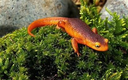 Newt Salamander Wallpapers Eastern Newts Background Desktop