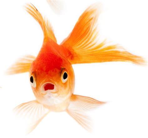 pesciolino rosso testo pesci