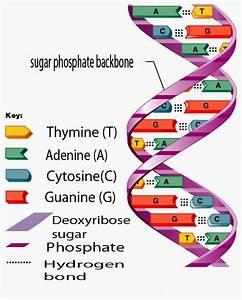 Dna  Deoxyribo Nucleic Acid