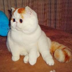 flat faced cat for snoopybabe the flat faced cat taking the
