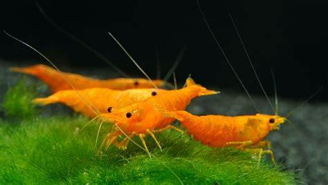 neocaridina davidi orange invertebrates freshwater