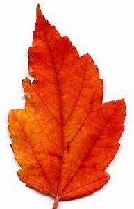 leaves on Pinterest | Autumn Leaves, Reptile Supplies and ...