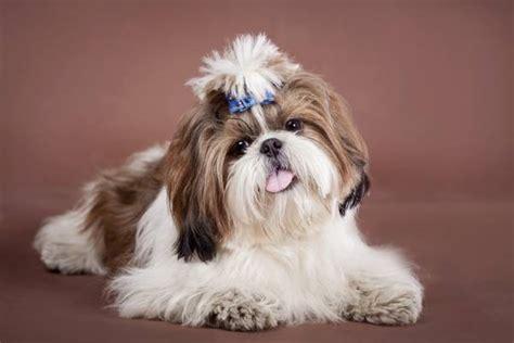 do shih tzu shed most popular hypoallergenic non shedding breeds