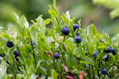 Blueberry Shrubs  Forest Product  Stock Photo Colourbox