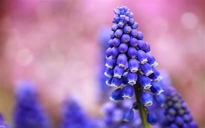 Flowers Muscari Close Wallpapers A4 Desktop Background