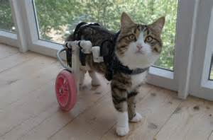 cat wheelchair you met rexie the paralyzed cat from russia
