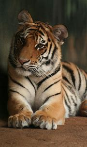 tiger | Please do not use/repost this image without my ...