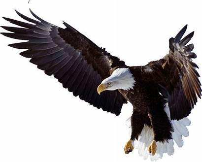 Flying Elang Burung Rajawali Eagle Kepala Gambar
