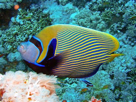 diving safaga guide  diving safaga  marine life
