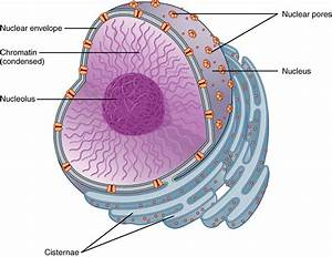 This figure shows the structure of the nucleus. The ...