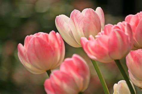 bulbi tulipani in vaso tulipani tulipa bulbi caratteristiche tulipani