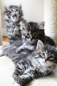 Siberian Kittens | Cutest Paw | Gotta have a cat board ...