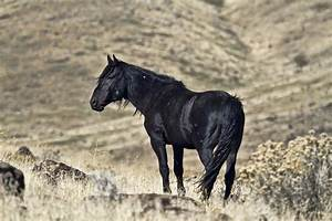 Wild Mustang Stallion Photos | Images of Wild Mustang ...