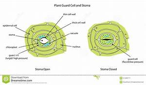 Plant Guard Cells With Stoma Fully Labeled  Stock