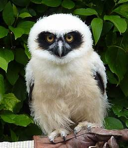 Spectacled Owl | Wise Old Owls | Pinterest