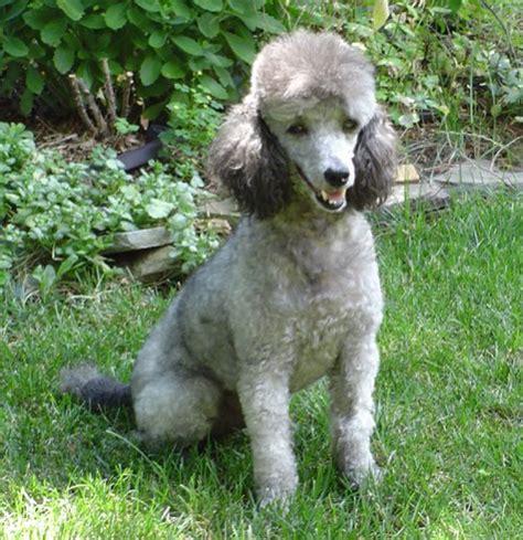 silver poodle thread poodle forum standard poodle