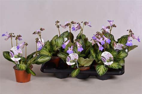 primulinachirita vertigo florists plantica