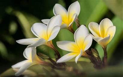 Flowers Flower Desktop Yellow Plumeria Lovely Resolution