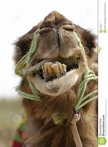 Course De Chameau : sourire de chameau images stock image 672624 ~ Medecine-chirurgie-esthetiques.com Avis de Voitures