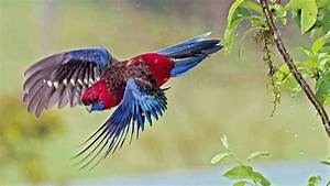 Crimson Rosella Facts, Care as Pets, Diet, Price, Pictures ...