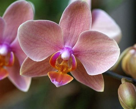 vaso per orchidea phalaenopsis orchidee phalaenopsis orchidee caratteristiche delle