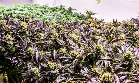 grow ls for weed 10 best weed strains to grow indoors green rush daily