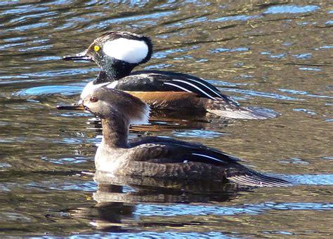 Hooded Merganser pair.... : birding