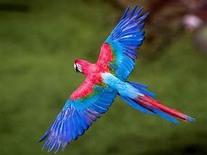 Colorful, Birds, Macaws, Long, Tailed, Parrots, Widespread, Wings, In, Flight, Birds, Wallpaper, For, Desktop