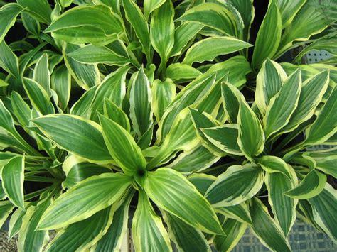 hosta varieties plants n gardens