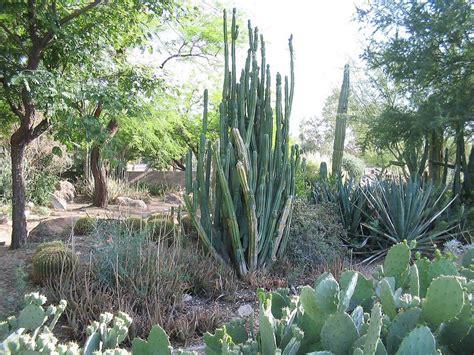 cactus san pedro planter et entretenir ooreka